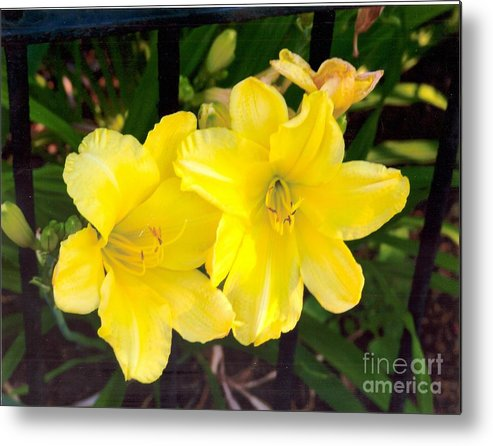 Yellow Metal Print featuring the photograph Yellow Day Lilys by Rod Ismay