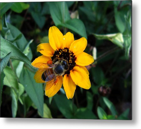 Love Metal Print featuring the photograph Bee by Ange Sylvestri