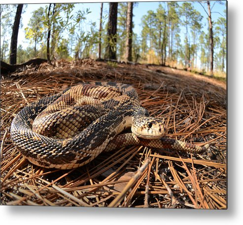 Nature Photography Metal Print featuring the photograph Northern Pine Snake by Eric Abernethy