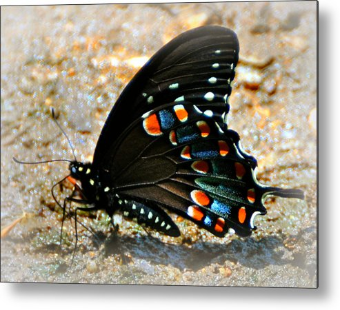 Butterfly Metal Print featuring the photograph A Real Beauty by Marty Koch