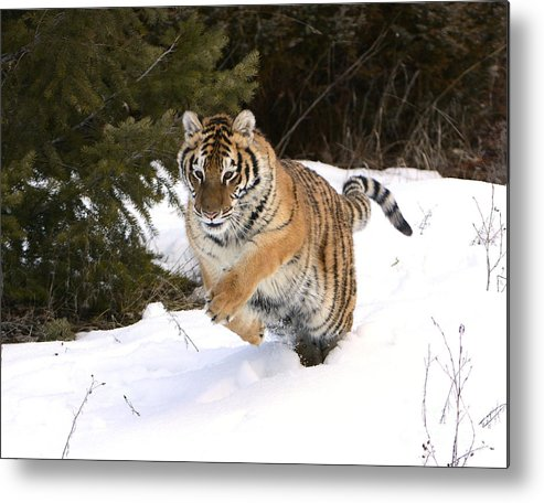 Mammal Metal Print featuring the photograph Amur Tiger Hunting by Dennis Hammer