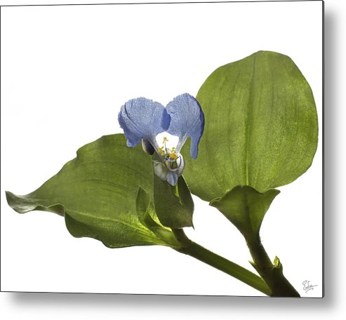 Flower Metal Print featuring the photograph Asiatic Day Flower by Endre Balogh