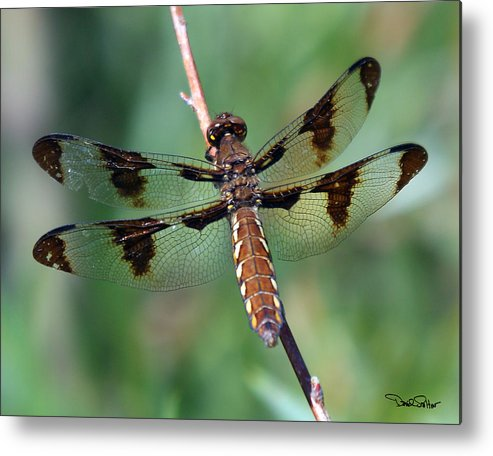 Nature Metal Print featuring the photograph Common White-tail Dragonfly by David Salter