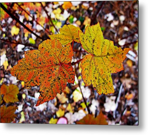 Maple Leaves Metal Print featuring the photograph Fancy Fall Leaves by MTBobbins Photography