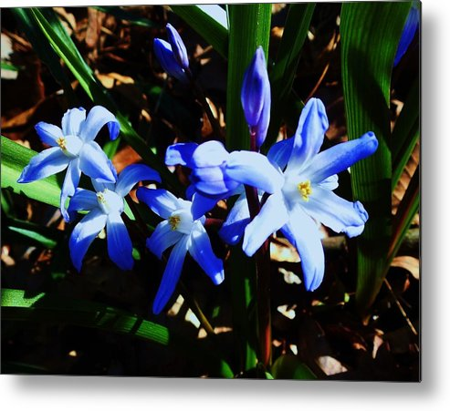 Flower Metal Print featuring the photograph Feeling Blue by Stacey Pollio