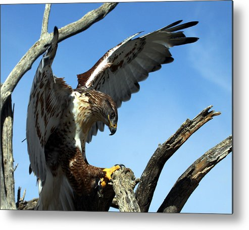 Ferruginous Hawk Metal Print featuring the photograph Ferruginous Hawk by Bruce Arnold