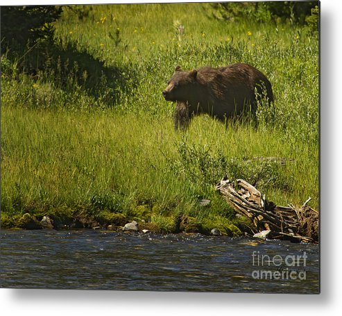 Bear Metal Print featuring the photograph Grizzly Bear-signed-#1158 by J L Woody Wooden