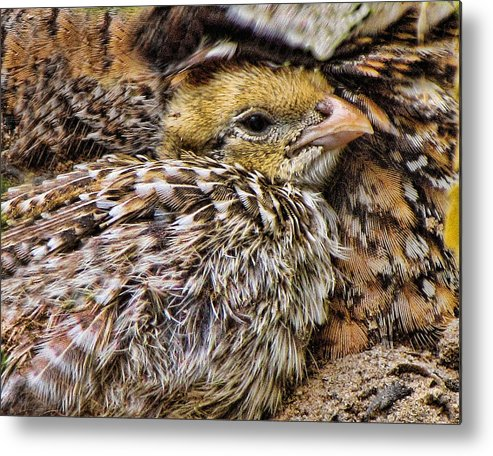 Quail Metal Print featuring the photograph In Sheltered Love by Shannon Story
