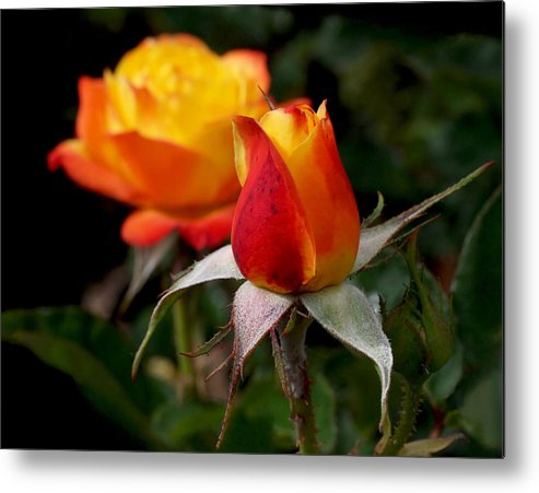 Rose Bud Metal Print featuring the photograph Judy Garland Rose by Rona Black