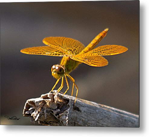 Nature Metal Print featuring the photograph Mexican Amberwing by David Salter