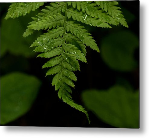 Sammyphoto Metal Print featuring the photograph Morning Light Green Fern by Sammy Miller