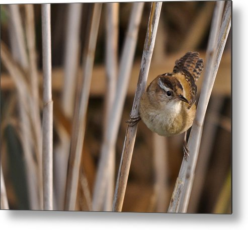 Marsh Wren Metal Print featuring the photograph Now What? by Dave Weth