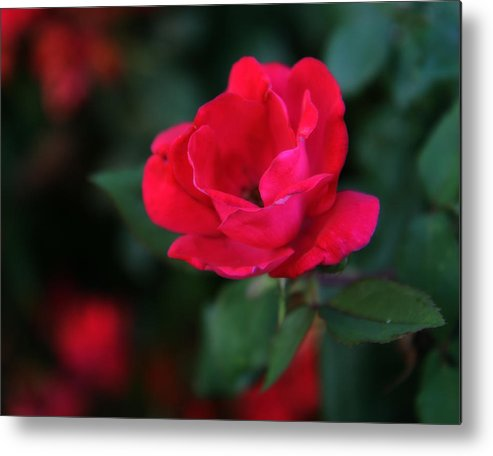 Rose Metal Print featuring the photograph Old Fashioned Rose by Denise Beverly