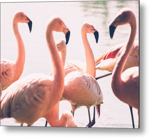 Pink Metal Print featuring the photograph Pink Flamingo Flock by Pati Photography