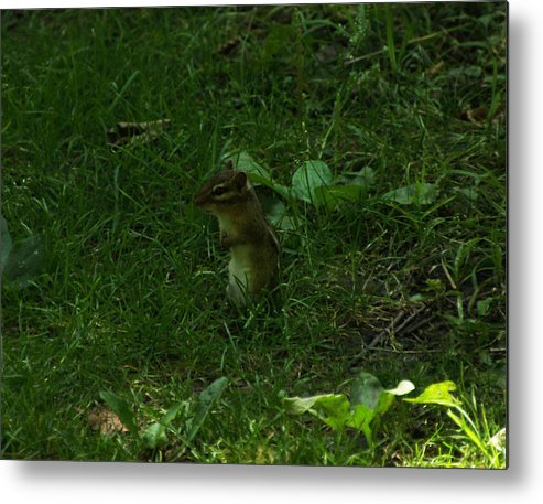 Ground Squirrel Metal Print featuring the photograph Pray That They Leave by Edwin Grue