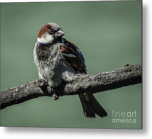 Sparrow Metal Print featuring the photograph Sparrow by Charlene Gauld