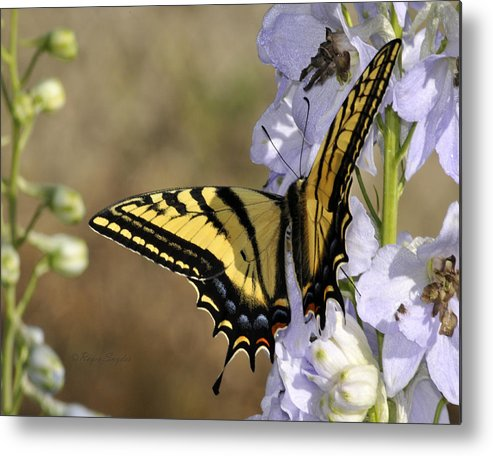 Beautiful Metal Print featuring the photograph Swallowtail Butterfly 1 by Roger Snyder