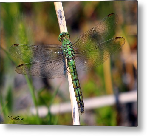 Nature Metal Print featuring the photograph Western Pondhawk by David Salter