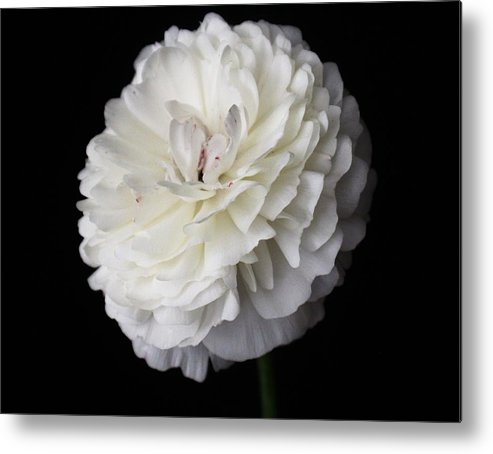 White Metal Print featuring the photograph White Ranunculus Flower by Carol Welsh