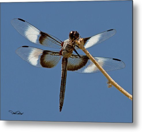 Nature Metal Print featuring the photograph Widow Skimmer by David Salter