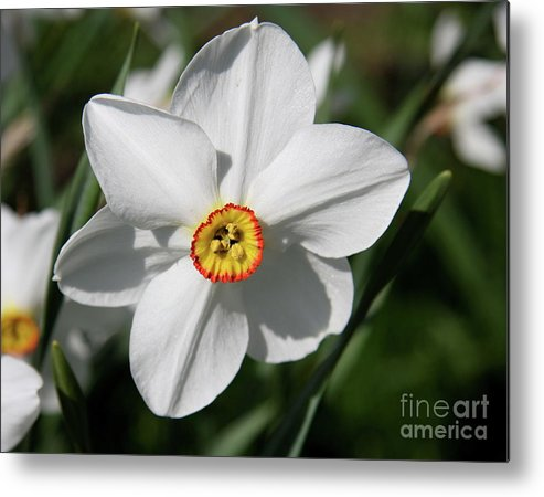Daffodil Metal Print featuring the photograph Yellow Daffodil Heart by Christiane Schulze Art And Photography