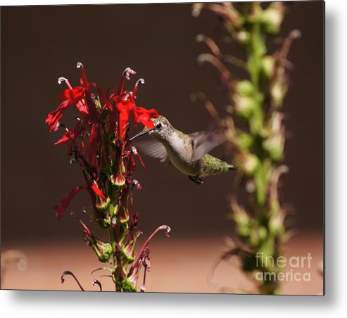 Hummingbird Metal Print featuring the photograph Hummingbird And Cardinal Flowers by Robert E Alter Reflections of Infinity