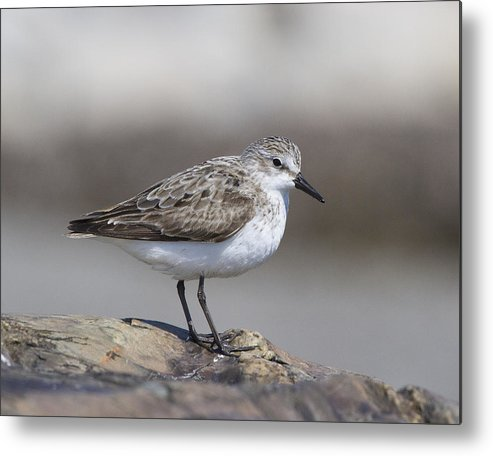 Calidris Pusilla Metal Print featuring the photograph Semipalmated Sandpiper by Chuck Homler