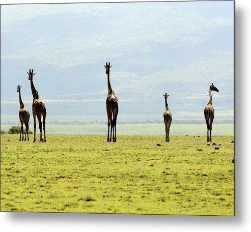 Giraffe Metal Print featuring the photograph Walk This Way by Roni Chastain