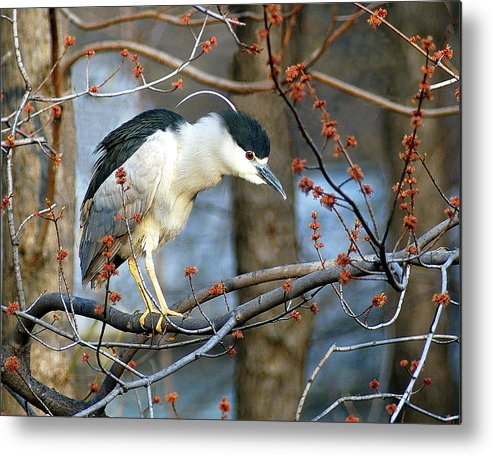 Birds Metal Print featuring the photograph Black-crowned Night Heron by Neil Doren