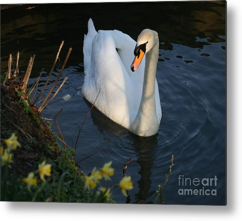Metal Print featuring the photograph Swan Lake Story by Valia Bradshaw