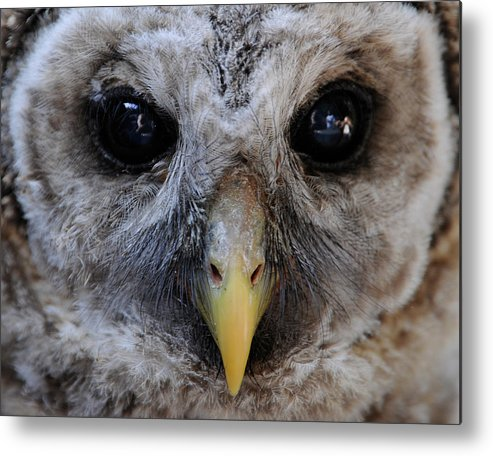 Metal Print featuring the photograph Baby Barred Owl 3 by Keith Lovejoy