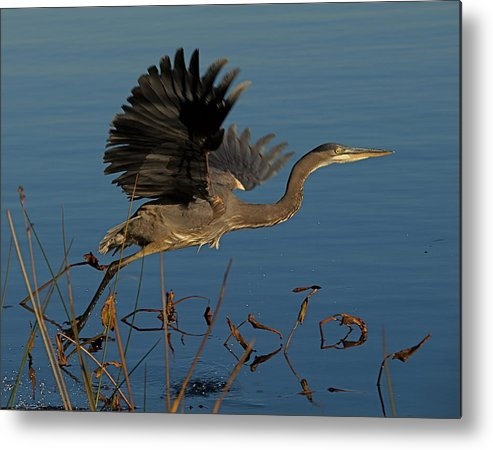Great Blue Heron Metal Print featuring the photograph Blue Heron 2 by Peter Gray