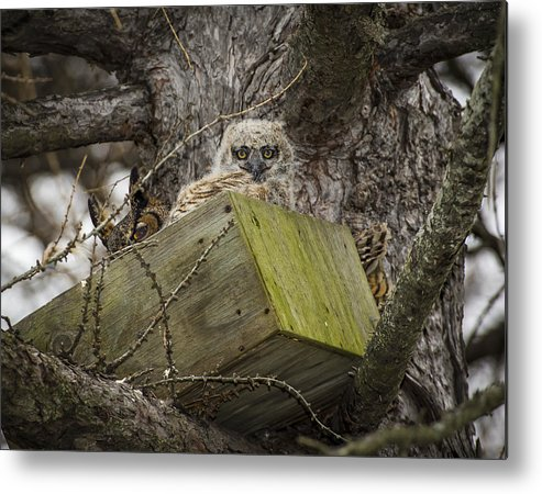 Great Horned Owl Metal Print featuring the photograph Box Baby by Bonnie DeLap