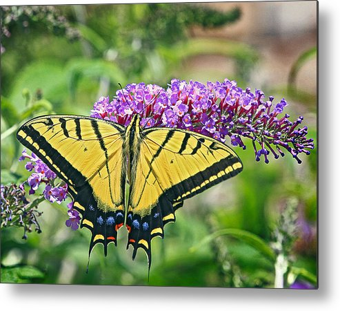 Butterfly Metal Print featuring the photograph Eastern Swallowtail by James Steele
