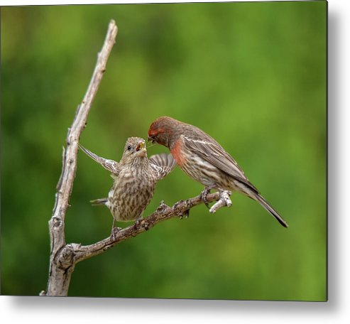 Linda Brody Metal Print featuring the photograph Finch Feeding Time I by Linda Brody