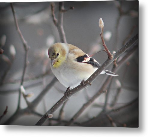 Winter Metal Print featuring the photograph Goldfinch In Winter by Dave Chafin
