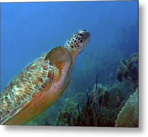 Green Sea Turtle Metal Print featuring the photograph Green Sea Turtle 4 by Pauline Walsh Jacobson