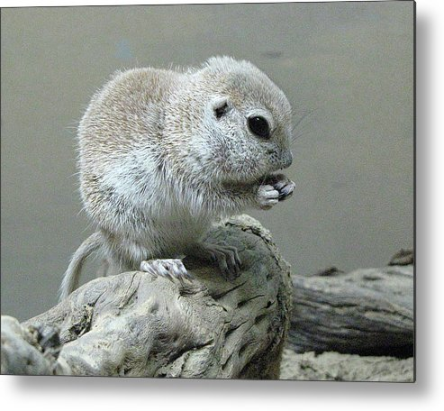 Ground Squirrel Metal Print featuring the photograph Ground Squirrel by Helaine Cummins