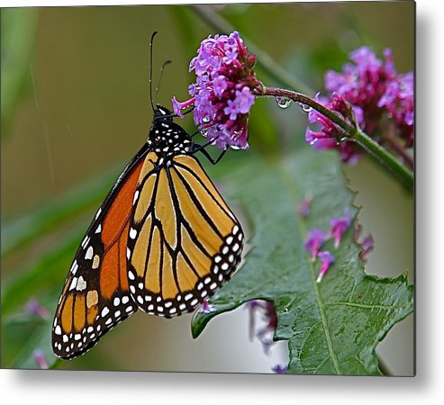 Monarch Metal Print featuring the photograph Monarch In The Rain by Peter Gray