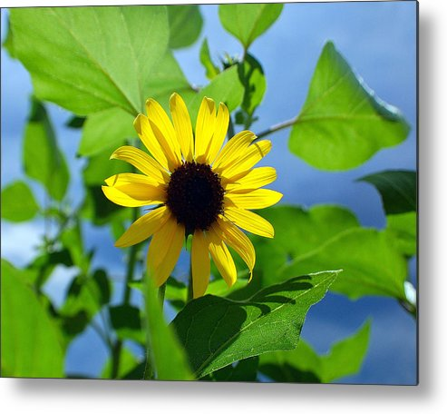 Sunflower Metal Print featuring the photograph Monsoon Sunflower by Heather S Huston