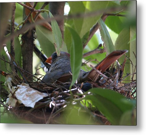 Bird Metal Print featuring the photograph Nesting by Kim