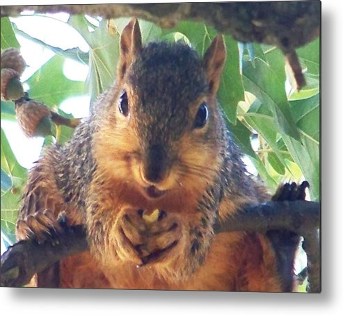 Squirrels Metal Print featuring the photograph Oh Nuts by Linda Henriksen