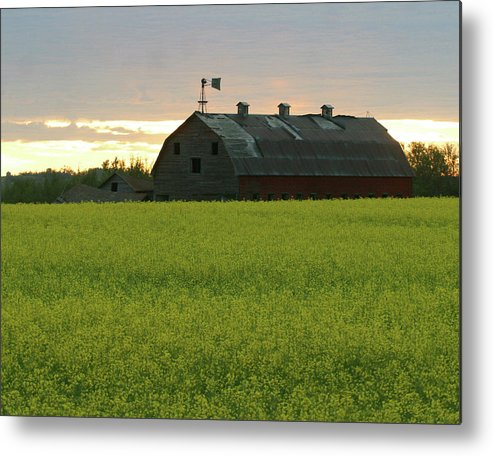 Old Metal Print featuring the photograph Old Barn In Canola Field by Jack Dagley