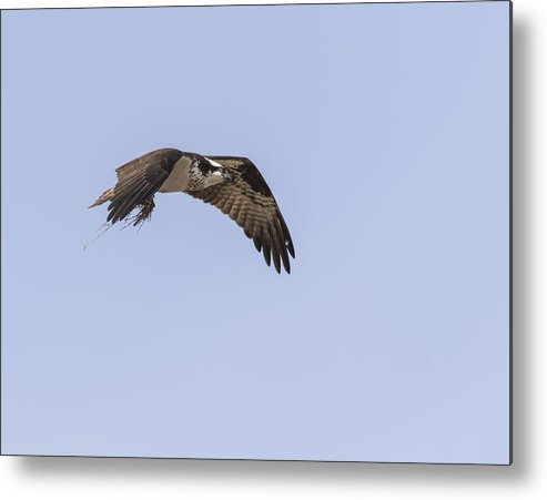 Osprey Metal Print featuring the photograph Osprey 2016-5 by Thomas Young