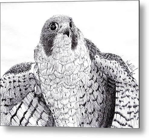 Wildlife Metal Print featuring the drawing Peregrine Falcon by Wade Clark