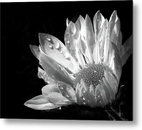 Daisy Metal Print featuring the photograph Raindrops On Daisy Black And White by Jennie Marie Schell