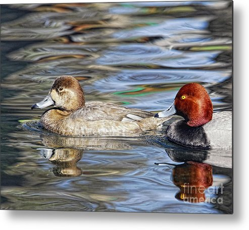 Tim Flanigan Metal Print featuring the photograph Redhead Duck Pair by Timothy Flanigan