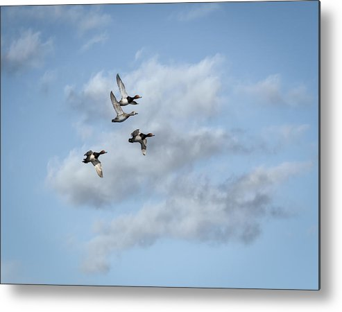 Redheaded Ducks Metal Print featuring the photograph Redheaded Ducks Riding The Storm by Thomas Young