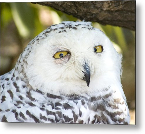 Owl Metal Print featuring the photograph Snowy Owl by Jerry Weinstein