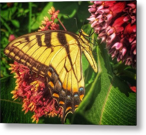 Butterfly Metal Print featuring the photograph Vibrancy by Michael Ahlrichs